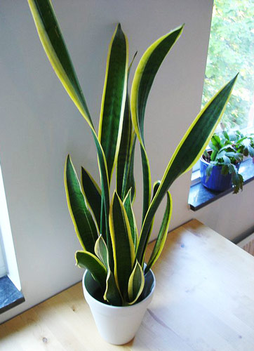 snake plant to improve sleep